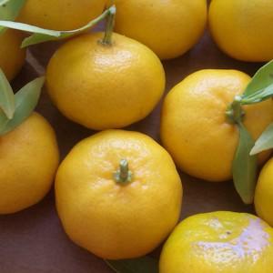 2012年11月27日ラ・クレマンティーヌの花壇で収穫したミカン。
