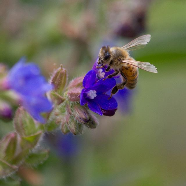 ミツバチさんの蜜集めの様子